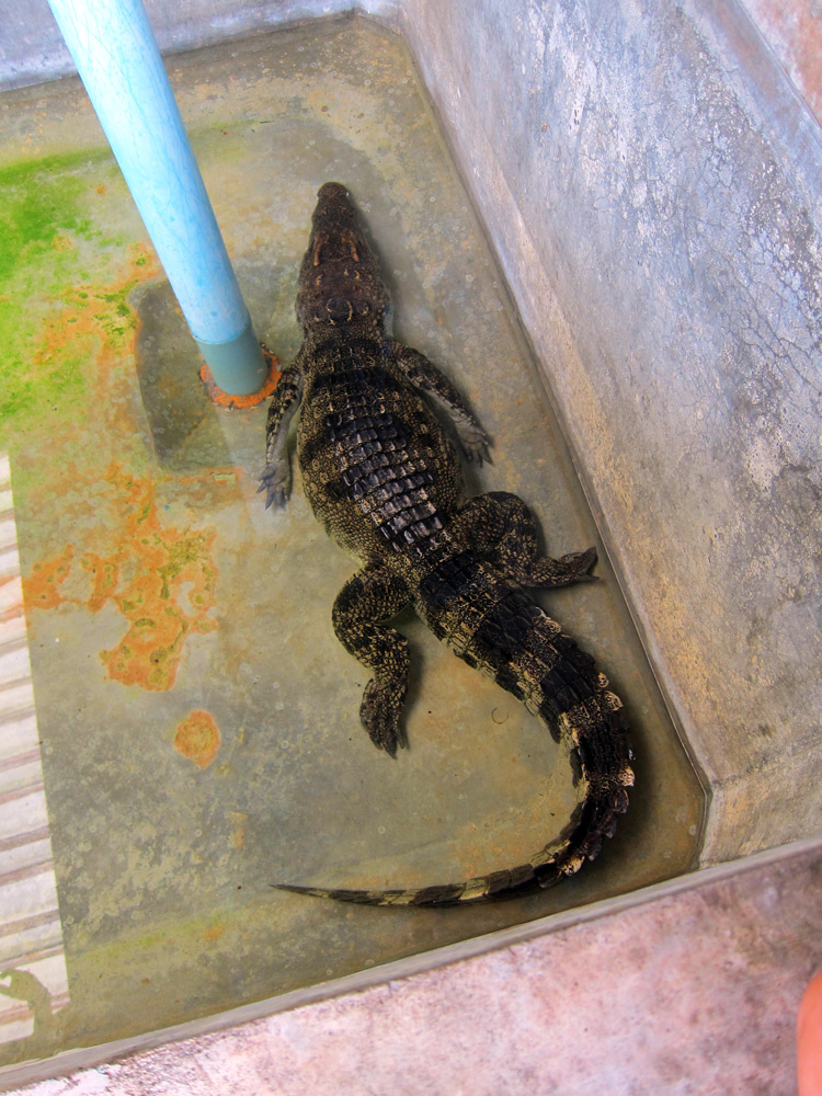 Crocodile at the Fisheries centre in Phang Nga