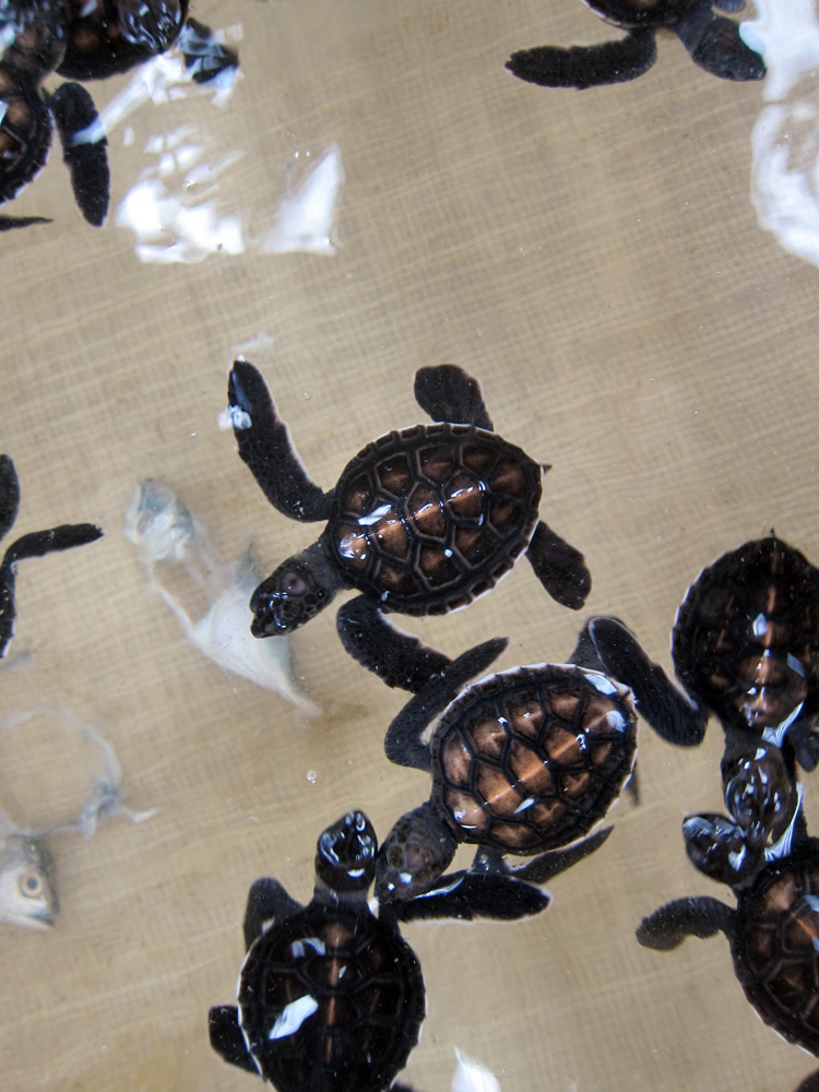 Juvenile turtles in the turtle sanctuary