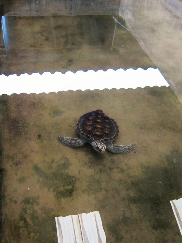 Injured turtle under go rehabilitation