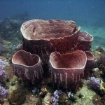 Barrel Sponges at Anemone Reef Thailand Dive Site