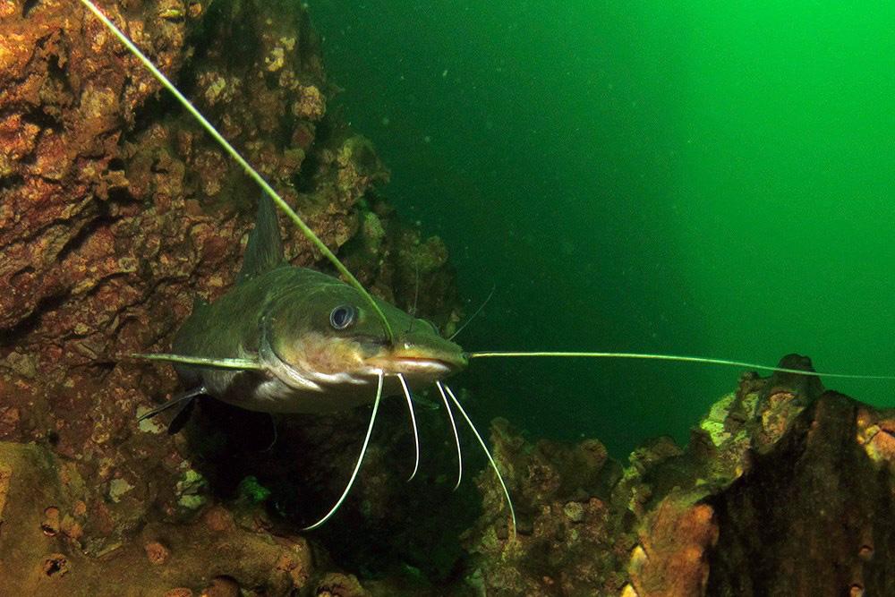 Catfish in Khao Sok Lake Thailand