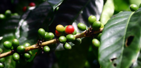 Thai coffee beans