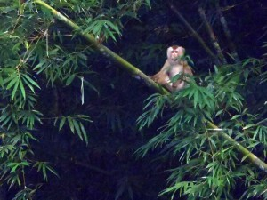 Monkey sits in Bamboo Jungle