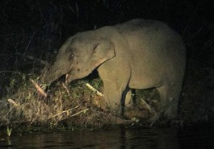 Wild elephant at night