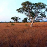 Maleleuca trees of the Savannahs of Koh Prathong