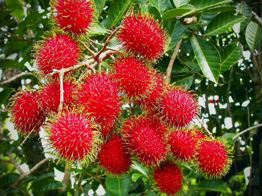 Rambutan Khao Lak S Hairy Fruit