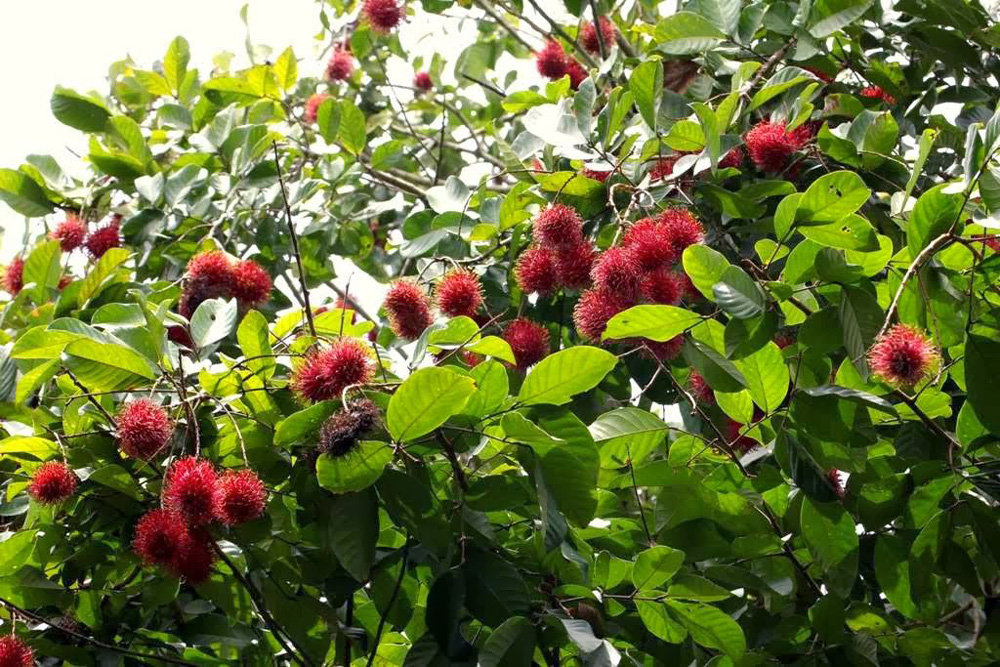 Rambutans growing on tress